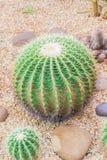 Кактус в ботаническом саде Стоковая Фотография