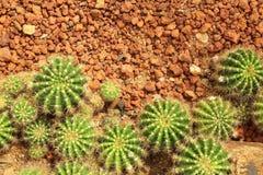 Кактус в взгляд сверху сада кактуса Стоковые Изображения