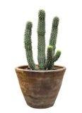Кактус в изолированном цветочном горшке Стоковые Фотографии RF