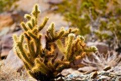 Кактус в пустыне стоковая фотография rf
