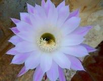Кактус в цветке этой весной Стоковая Фотография