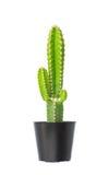 Кактус в цветочном горшке Стоковое фото RF