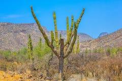 Кактус в della Калифорнии Sur Baja (Messico) Стоковое Изображение RF