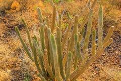 Кактус в della Калифорнии Sur Baja (Messico) Стоковые Изображения