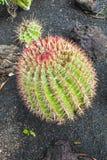 Кактус в grusonii острове Лансароте, Испании Echinocactus Стоковое Изображение RF
