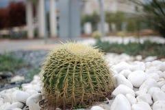 Кактус в peebles Стоковая Фотография RF