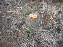 Кактус горы в цветени Стоковое Изображение RF