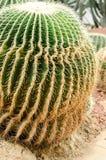 Кактус грибковое заболевание, кактус ржавчины Стоковая Фотография RF