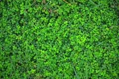 Кактус деревья Mescal маленькие Стоковое фото RF