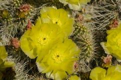 Кактус желтого зеленого цвета красный серый Стоковые Фотографии RF