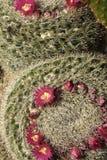 Кактус засаженный в саде, стоковая фотография