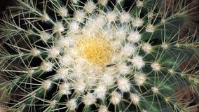 Кактус золотого бочонка или grusonii Echinocactus в ботаническом саде Закройте вверх круглого зеленого cactaceae с шипами Echinoc стоковые фото