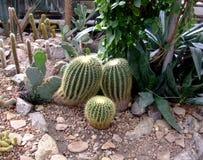 Кактус золота в ботаническом саде Стоковые Фотографии RF
