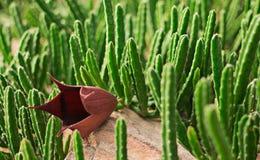 Кактус имеет одиночный цветок Стоковые Фото