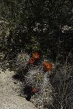 Кактус и цветки кактуса в дереве Иешуа Калифорнии стоковая фотография rf