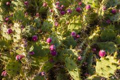 Кактус колючей груши растет обильно на острове Тенерифе стоковая фотография