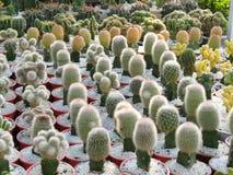 кактус красотки стоковые фотографии rf