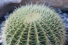кактус круглый Стоковые Изображения