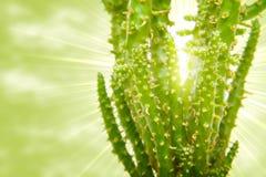 кактус напротив солнца Стоковое Изображение RF