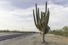 Кактус на дороге Стоковые Фото