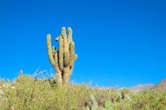кактус огромный стоковая фотография rf