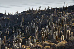 Кактус, остров Incahuasi Стоковые Фотографии RF