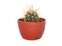 кактус одиночный Стоковое Изображение RF