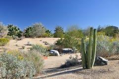 Кактус пустыни Стоковое Фото