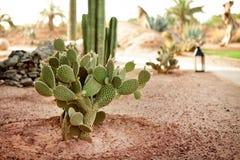 Кактус пустыни Стоковые Изображения