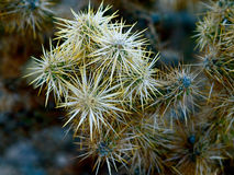 Кактус пустыни Стоковая Фотография
