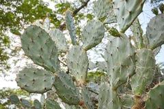 Кактус растя в парке с длинными терниями и дерево дерева большое в предпосылке, низком угле стоковое фото