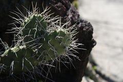 Кактус сердца форменный в саде пустыни Стоковые Фото