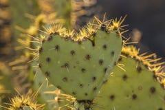 Кактус сердца Стоковая Фотография