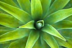 кактус столетника Стоковая Фотография RF