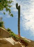 кактус стоя высокоросл Стоковые Изображения