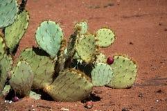 Кактус с коричневым цветом плодоовощ Стоковое фото RF