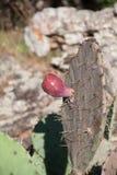 Кактус с коричневым цветом плодоовощ Стоковое Изображение