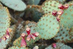 Кактус с коричневым цветом плодоовощ Стоковые Фото