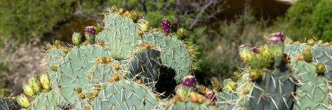 Кактус с коричневым цветом плодоовощ стоковые изображения rf