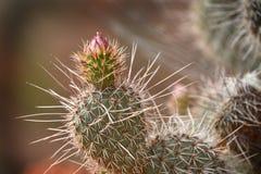 Кактус с позвоночниками и цветение в сухой пустыне Стоковые Изображения RF