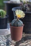 Кактус с цветениями в пластичном баке Стоковая Фотография