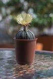 Кактус с цветениями в пластичном баке Стоковые Фото