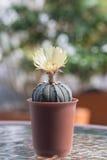 Кактус с цветениями в пластичном баке Стоковые Фотографии RF