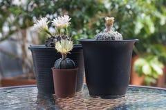 Кактус с цветениями в пластичном баке Стоковое фото RF