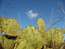 Кактус Техаса Стоковое Изображение RF