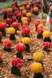 кактус цветастый Стоковые Фото