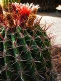 кактус цветастый Стоковые Фотографии RF