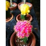 кактус цветастый Стоковое фото RF