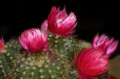 кактус цветений Стоковая Фотография RF