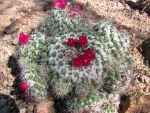 кактус цветеня полный Стоковое фото RF